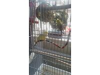 2 x beautiful budgies and large cage