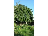 2 Mature Leylandii Trees (approx. 18ft) Healthy or FREE Firewood