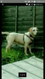 Lemon Beagle X Labrador