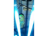 ASAP!! 2X Red Rump Parakeets For Sale