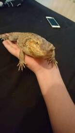 Bearded dragon with Setup