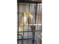 Cockatiels for sale.
