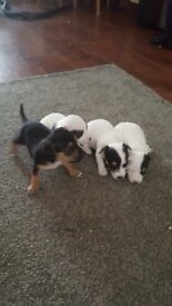 minature jackawowa puppies 2 girls 3 boys