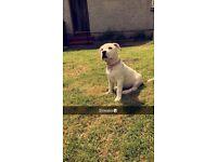 American bulldog puppy 10 weeks old (daisy)