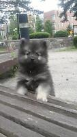 Adorable Purebred Keeshond Puppy