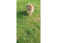 1 pomeranian puppy