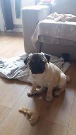 Pug puppy fully kc registered