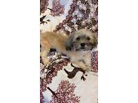 bichon havaness puppy