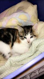 female gorgeous kitten for sale