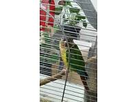 Young and Beautiful Conure for SALE with cage