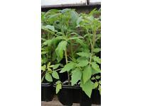 Garden tomatoes plants