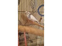 Budgies x2 with x1 large cage x1 small cage