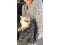 Ragdoll cat kitten. Boy pedigree