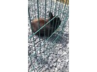 free to good home netherland dwarf year and half ild girl black with white stripe on face