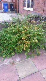 shrubs, fuchsia, Hortenzia