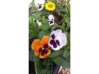 Pansy plants in hanging baskets and pots