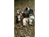 Gorgeous Welsh sheepdog puppies