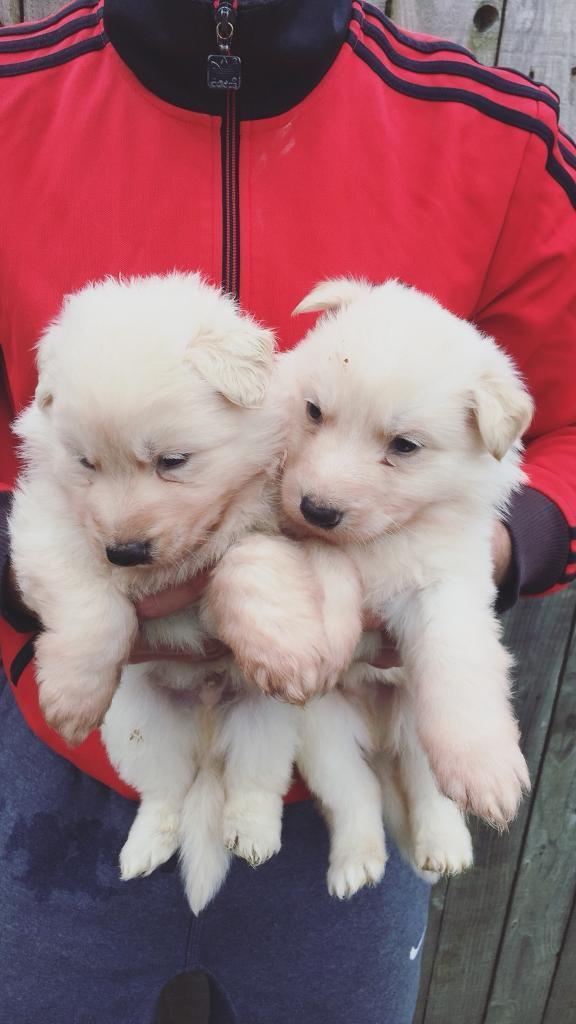 German Shepherd German Shepard puppies for sale