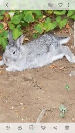 5month bunny for sale 60 with cage and accessiors