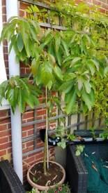Advacado tree