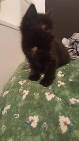 Lovely kitten for sale