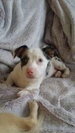 Gorgeous Chihuahua x Jack puppy