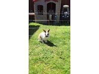 Male rabbit & hutch