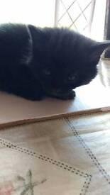 Gorgeous black kittens