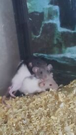 Baby rats for sale 10 weeks old