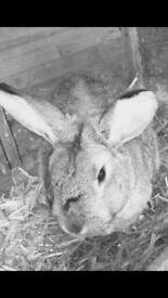 Rabbit free to good home