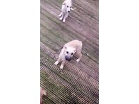 Lurcher pups bedlington whippet x saluki whippet greyhound