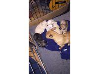 Jackuahua three quarter Chihuahua puppies