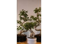 bonsai style indoor plants (ficus microcarpa ginseng)