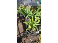 Banana plants x3