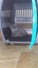 georgous gray female kitten