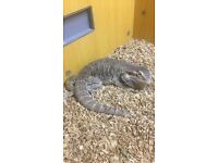 Adult bearded dragon with tank
