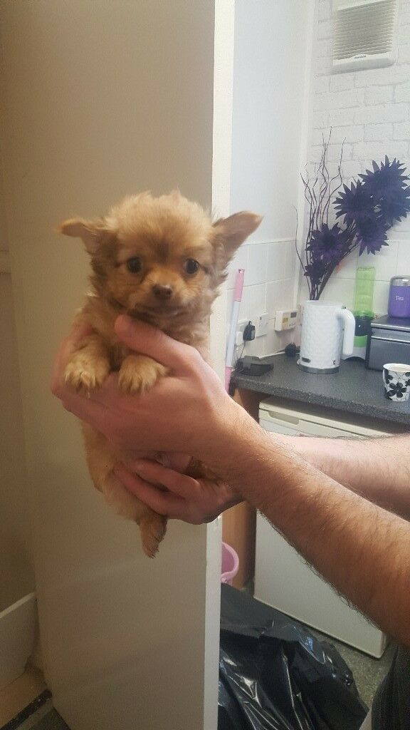STUNNING LONG HAIRED MALE CHIHUAHUAH READY NOW !!