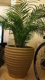 2 x Indoor plant