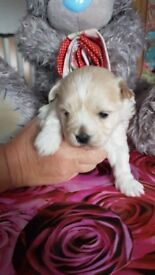 Maltese F2 Male Puppy 8 weeks old ready to go