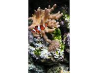 Clown fish for sale