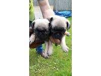 Pug puppies for sale not French Bulldogs