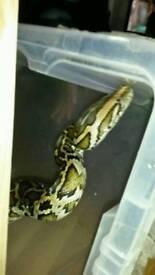 6ft Burmese Python for sale (No tank)
