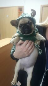 Fawn frenchbulldog has become available