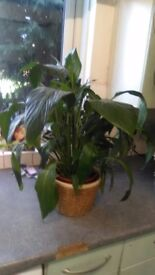 Two healthy house plants for sale.