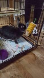 Luna dwarf rabbit