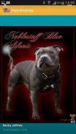 4 full bred blue staffys KC registered pedigree