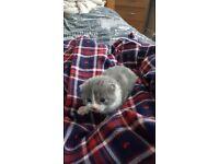 Grey & White long haired kitten for sale