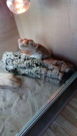Bearded Dragon and Full Set Up for sale