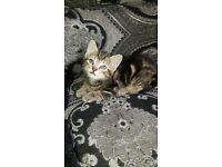 Kittens for £100 each