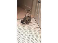 MISSING CAT - LANCE, 10 months old - STOKE NEWINGTON - PLEASE HELP BRING HIM HOME